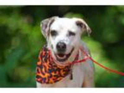 Adopt Nova a White - with Tan, Yellow or Fawn St. Bernard / Mixed dog in