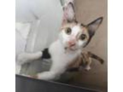 Adopt Truly a White Domestic Shorthair / Domestic Shorthair / Mixed cat in