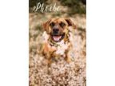 Adopt Phoebe a Brindle - with White Boxer / Mixed dog in Evansville