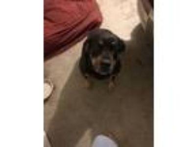 Adopt Sally a Black - with Tan, Yellow or Fawn Labrador Retriever / Rottweiler /