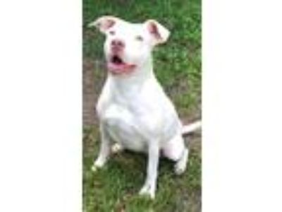 Adopt Jackie a Pit Bull Terrier / Mixed dog in Davie, FL (24893857)