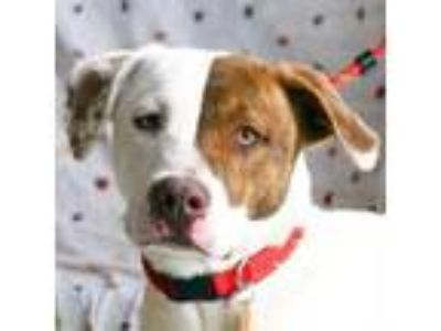 Adopt Tyler a White - with Brown or Chocolate Pointer / Labrador Retriever /