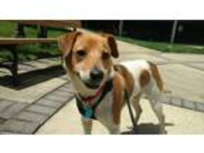 Adopt Jack a Jack Russell Terrier / Beagle dog in Washington, DC (25508105)