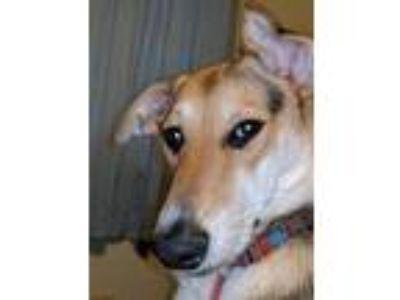 Adopt Madi a Tricolor (Tan/Brown & Black & White) Australian Cattle Dog /