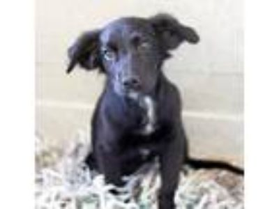 Adopt Kelly a Black Spaniel (Unknown Type) / Shepherd (Unknown Type) / Mixed dog