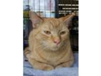 Adopt Steve a Domestic Short Hair