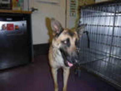 Adopt a Brown/Chocolate - with Black German Shepherd Dog / Mixed dog in Long