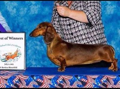 STANDARD SMOOTH DACHSHUND Puppies: OFA HEALTH TESTED PARENTS!