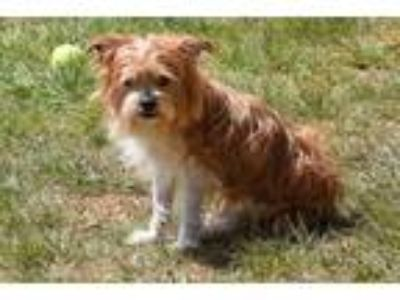 Adopt TOFFEE a Red/Golden/Orange/Chestnut - with White Pekingese / Poodle
