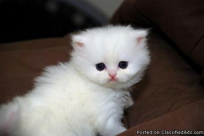 charming blue eyes persian kittens ready