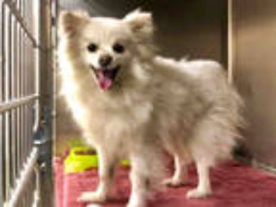 Adopt SNOWEE a White Pomeranian / Mixed dog in Moreno Valley, CA (25243665)