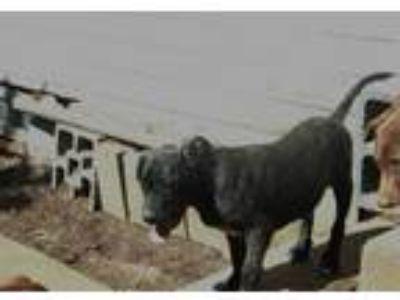 Adopt KAIZER a Staffordshire Bull Terrier, Boston Terrier