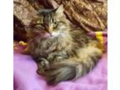 Adopt Sweetie a Domestic Long Hair