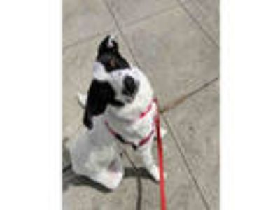 Adopt JEFFERSON a White - with Black Border Collie / Mixed dog in San Francisco
