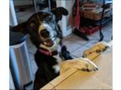 Adopt Courtney a Black - with White Border Collie / Mixed dog in Reno
