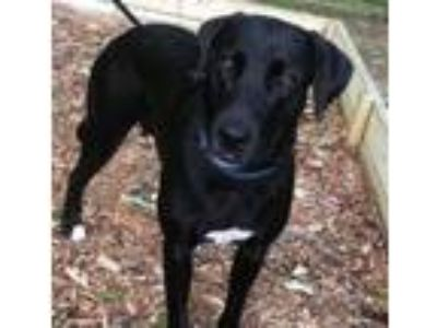 Adopt Ally a Black Labrador Retriever
