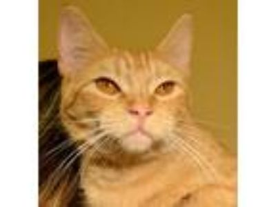 Adopt Walley a Orange or Red Domestic Shorthair / Mixed (short coat) cat in Horn
