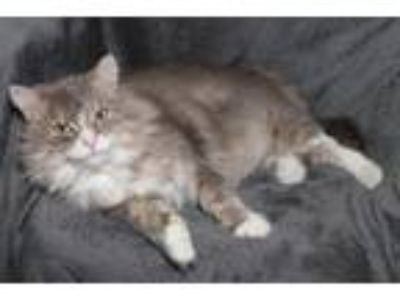 Adopt Stryker a Domestic Long Hair