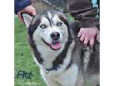 Adopt Fitz a Gray/Silver/Salt & Pepper - with White Siberian Husky / Mixed dog