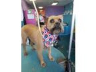 Adopt Beautiful Blossom a Brussels Griffon
