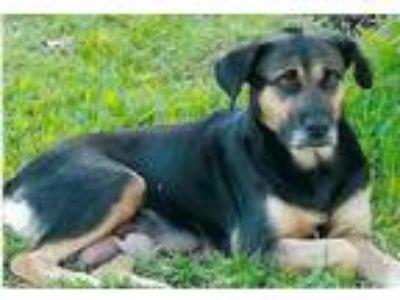 Adopt Saffron a Border Collie, German Shepherd Dog