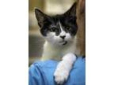 Adopt Tyro a White Domestic Shorthair / Domestic Shorthair / Mixed cat in Palm