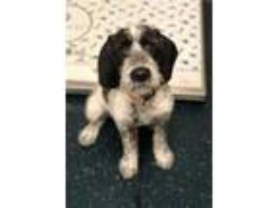 Adopt Minnie a Wirehaired Pointing Griffon, Beagle
