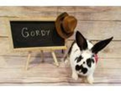 Adopt Gordy a Multi Other/Unknown / Mixed (short coat) rabbit in Columbus
