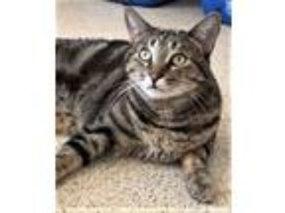 Adopt Kitten Beulah a Domestic Short Hair