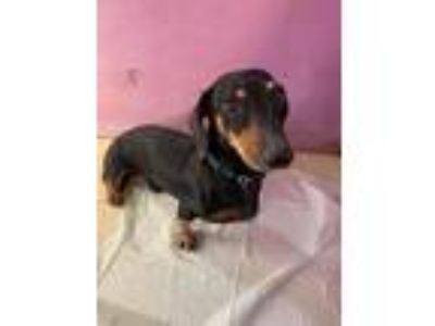 Adopt Waylon a Black - with Tan, Yellow or Fawn Dachshund / Mixed dog in York