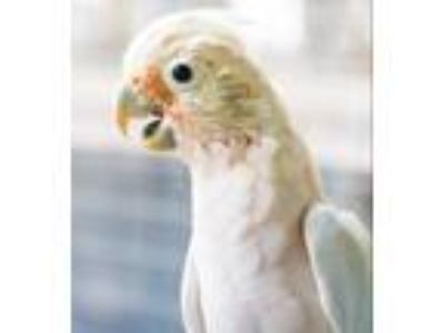 Adopt Mikey a Cockatoo