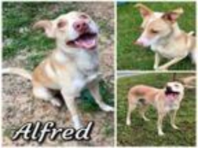 Adopt ALFRED a Italian Greyhound, Labrador Retriever
