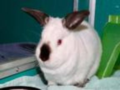 Adopt Seymour a Himalayan / Mixed rabbit in Virginia Beach, VA (25358001)