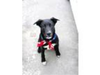 Adopt Duke a Labrador Retriever