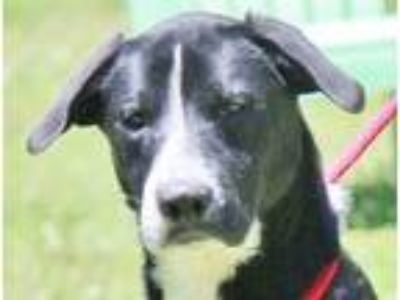 Adopt Hoover B Gentle soul a Border Collie, Labrador Retriever