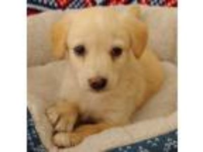 Adopt Rose a Golden Retriever, Yellow Labrador Retriever