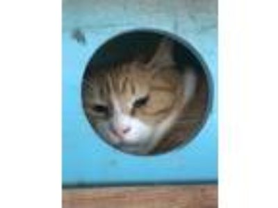 Adopt SMITTY a Orange or Red Domestic Shorthair / Domestic Shorthair / Mixed cat