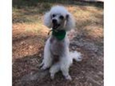 Adopt Ernie a White Poodle (Miniature) / Mixed dog in Collingswood