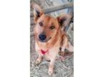 Adopt Rusty a Red/Golden/Orange/Chestnut German Shepherd Dog / Golden Retriever
