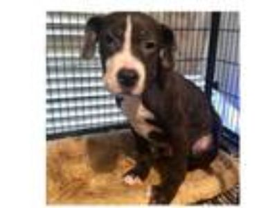 Adopt Grover a Labrador Retriever, Border Collie