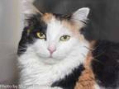 Adopt CALLI a Calico or Dilute Calico Domestic Longhair / Mixed (long coat) cat