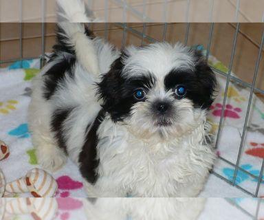 Shih Tzu PUPPY FOR SALE ADN-131423 - Shih Tzu Puppy
