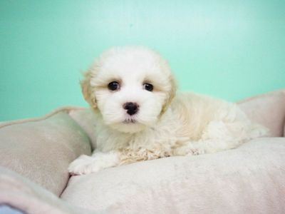 Maltipoo Puppy – Male- Aspen ($1,399)