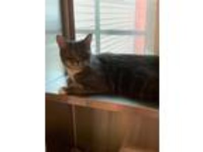 Adopt Oscar a Domestic Shorthair / Mixed cat in Stratham, NH (25314578)