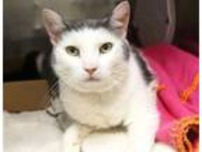 Adopt Emmy a Domestic Short Hair