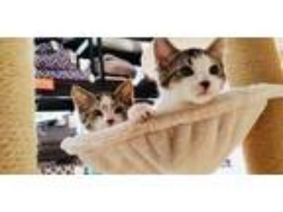 Adopt Whiskey & Rye a Brown Tabby Domestic Shorthair / Mixed cat in York County
