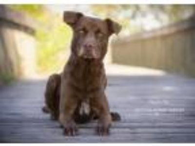 Adopt Nashville a Brown/Chocolate - with White Labrador Retriever / Mixed dog in