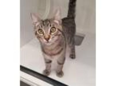 Adopt Mimi a Domestic Shorthair / Mixed cat in Oceanside, CA (25919682)