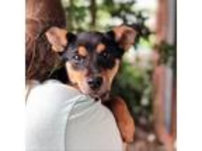 Adopt Chanel 8803 a Miniature Pinscher