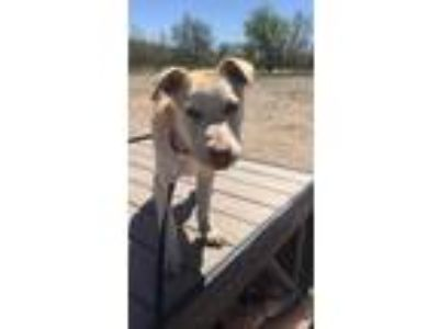 Adopt Ivory a Shepherd (Unknown Type) / Mixed dog in Littleton, CO (24663155)
